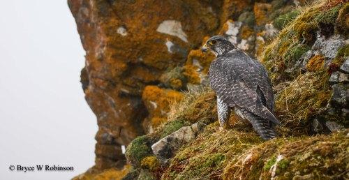 Female Gyrfalcon - Falco rusticolus
