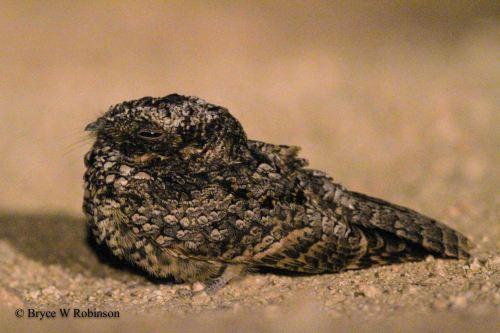 Common Poorwill - Phalaenoptilus nuttalii