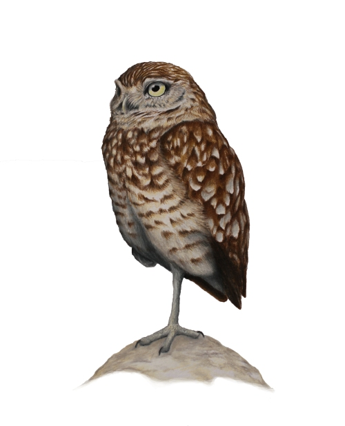 "Burrowing Owl - Athen cunicularia. 11 x 17"" prismacolor on bristol"
