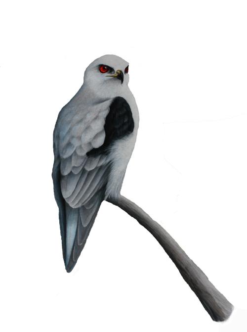 "White-tailed Kite - Elanus leucurus. 11 x 17"" prismacolor illustration on bristol board."