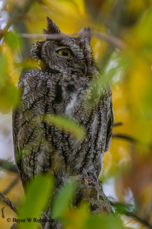 Western Screech Owl - Megascops Kennecottii