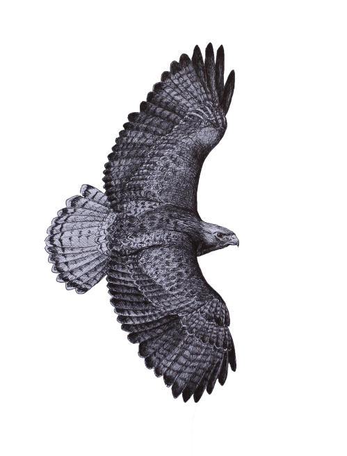 """After second-year Red-tailed Hawk - Buteo jamaicensis. 11 x 17"""" Pen and Ink on bristol."""