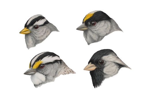"Zonotrichia - The Adults. 11 x 14 "" prismacolor on bristol.  Top left: White-crowned Sparrow, top right: Golden-crowned Sparrow, bottom left: White-throated Sparrow, bottom right: Harris's Sparrow."