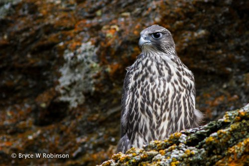 Juvenile Gyrfalcon - Falco rusticolus. Image taken 7 July, 2014 at an eyrie in Western Alaska.