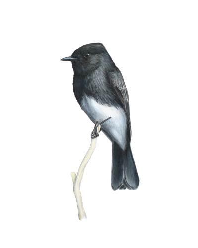 """Black Phoebe - Sayornis nigricans. 14 x 17"""" prismacolor on bristol board. Image copyright Bryce W. Robinson"""