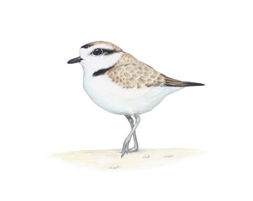 "Snowy Plover - Charadrius nivosus. 11 x 14 "" prismacolor on bristol"