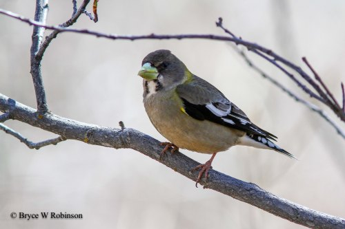 Female Evening Grosbeak - Coccothraustes vespertinus.
