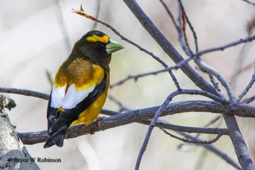 Male Evening Grosbeak - Coccothraustes vespertinus