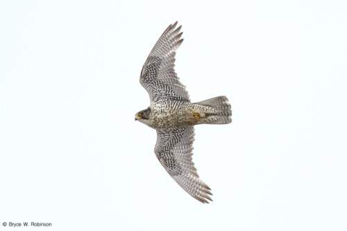 Adult Male Gyrfalcon - Falco rusticolus