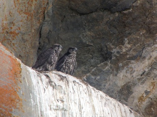 Male (R) and female (L) Gyrfalcon fledglings. Digiscoped with a Zeiss Diascope 65 T* FL