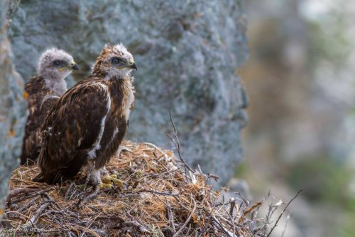 Rough-legged Hawk Nestlings
