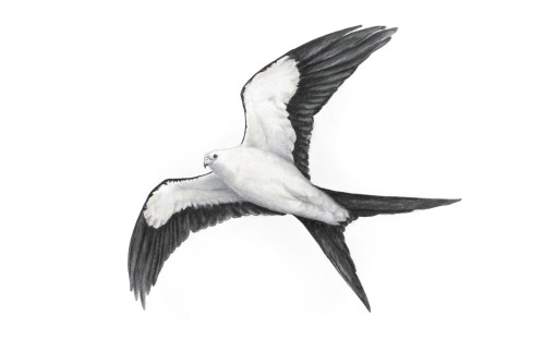 Swallow-Tailed Kite - Elanoides forficatus. 11 x 17