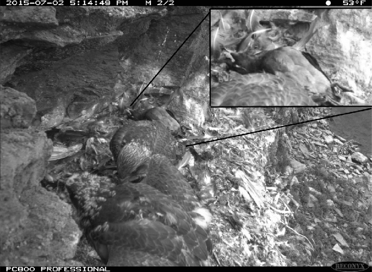 Fig-1-Crested-Auklet-insert-in-a-Gyrfalcon-nest-as-captured-by-a-motion-activated.png