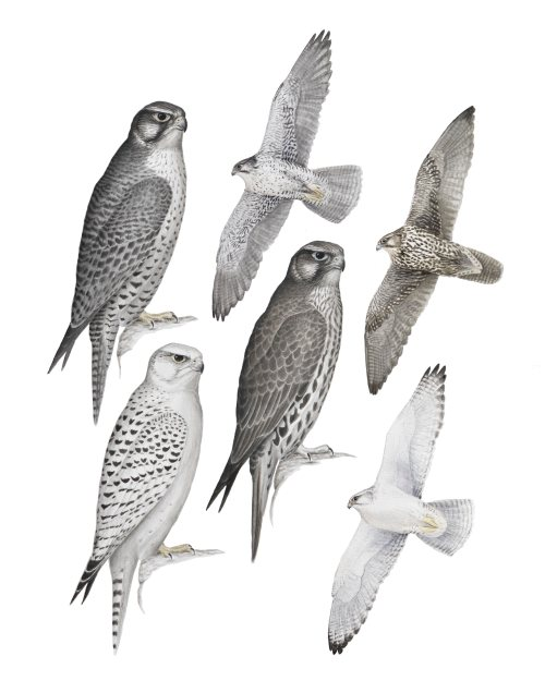 Gyrfalcon_Plate_2017-11-03-online-01