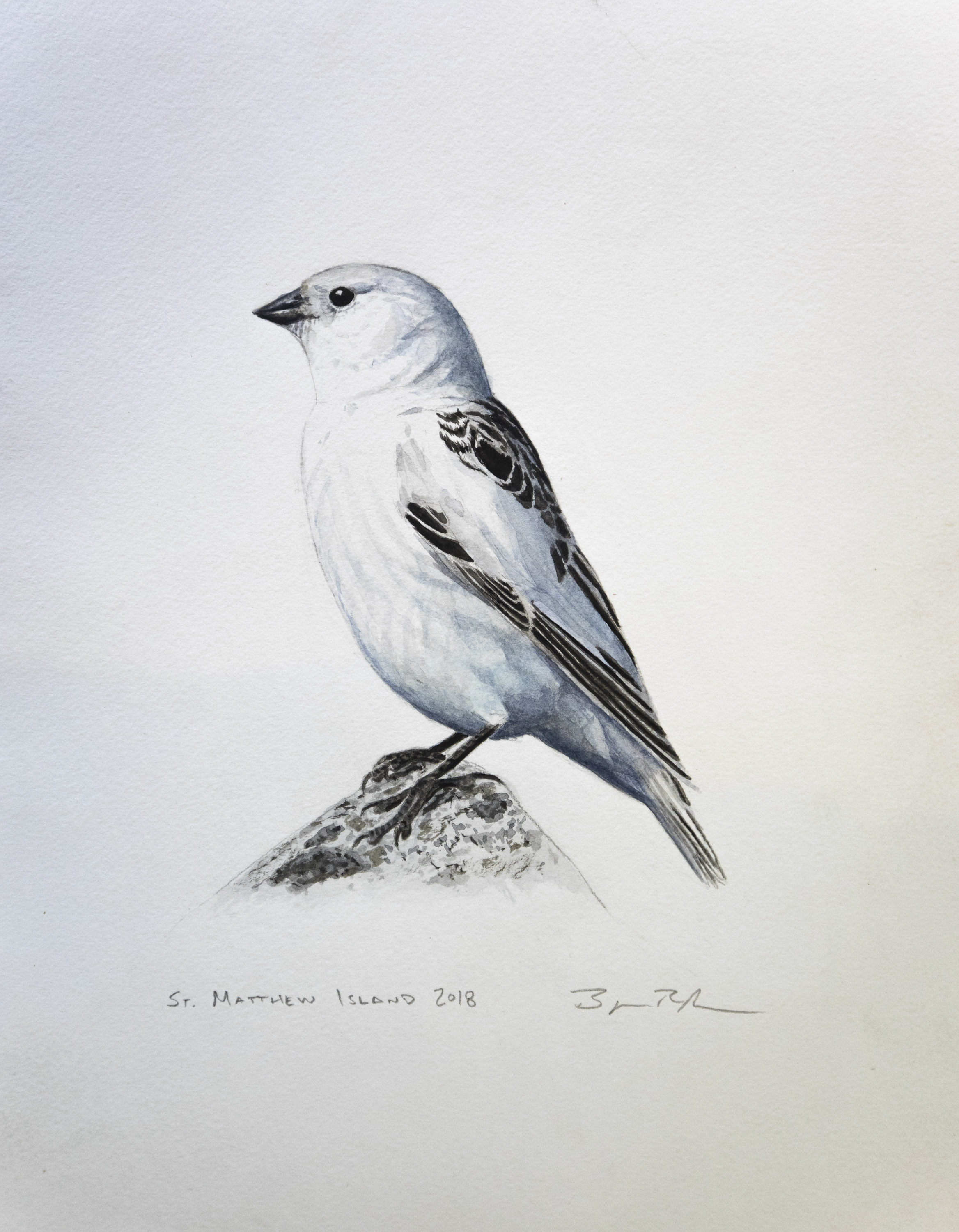 Female Mckay's Bunting painting