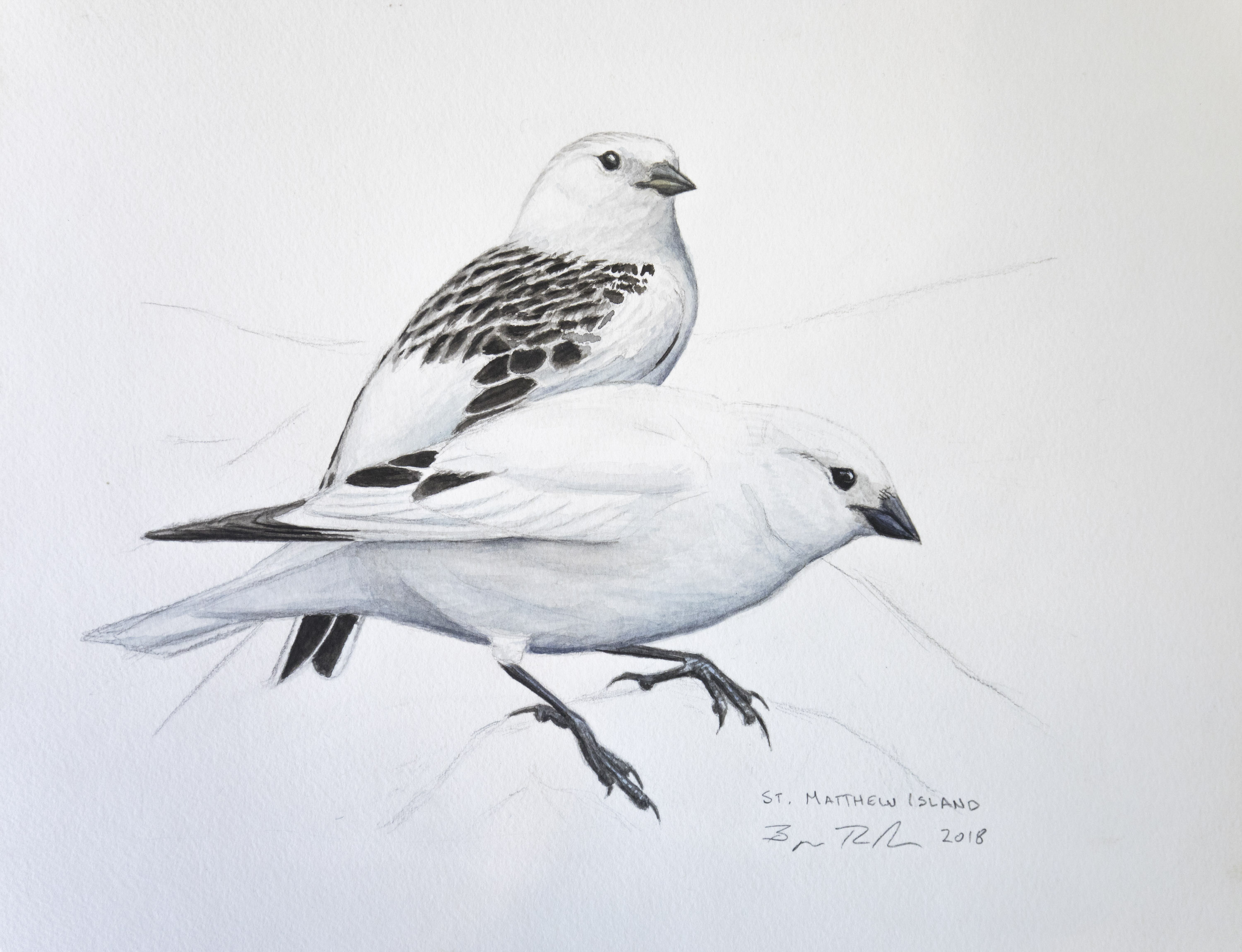 Mckay's Bunting pair illustration