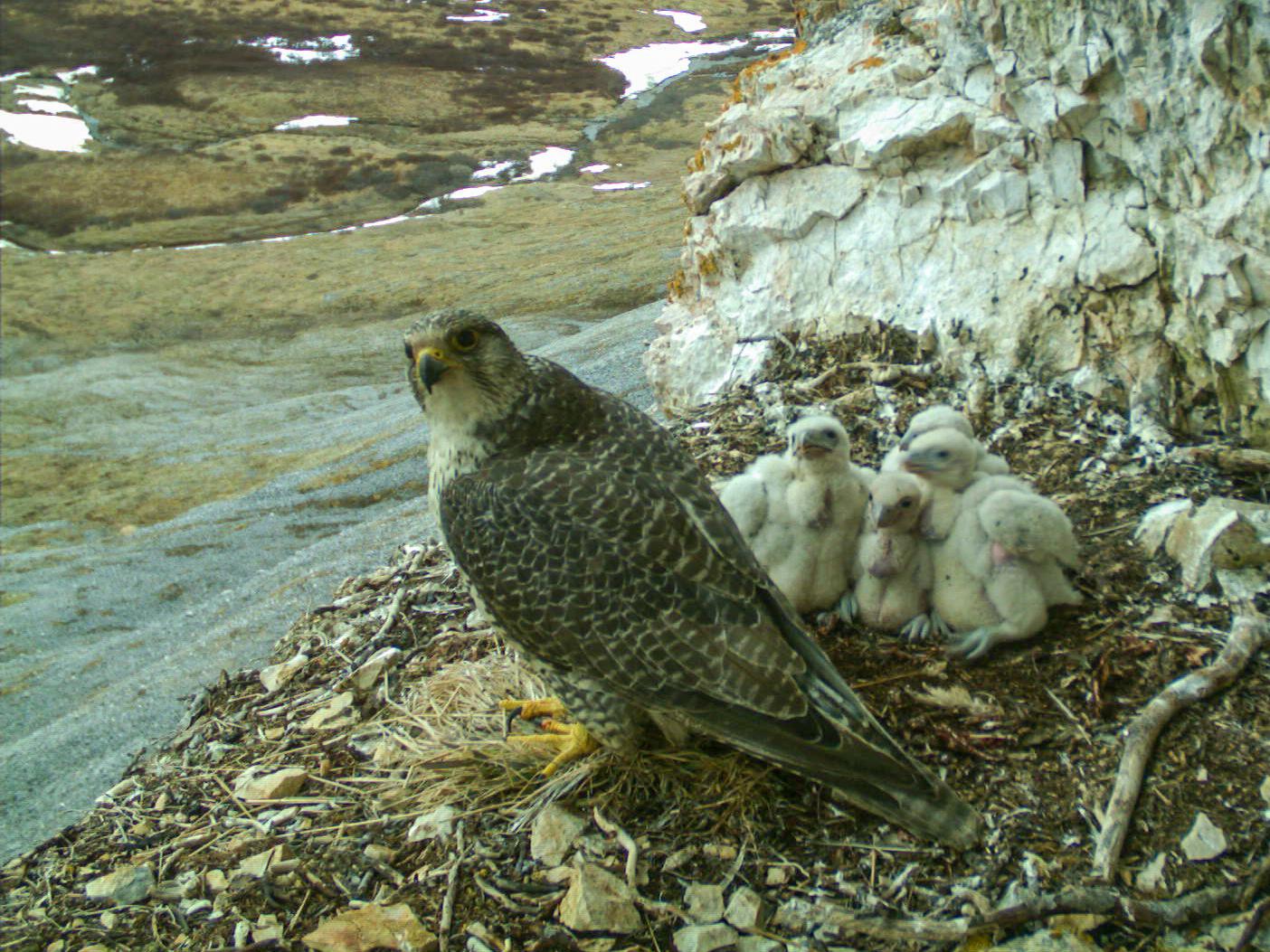 Gyrfalcon nest 2