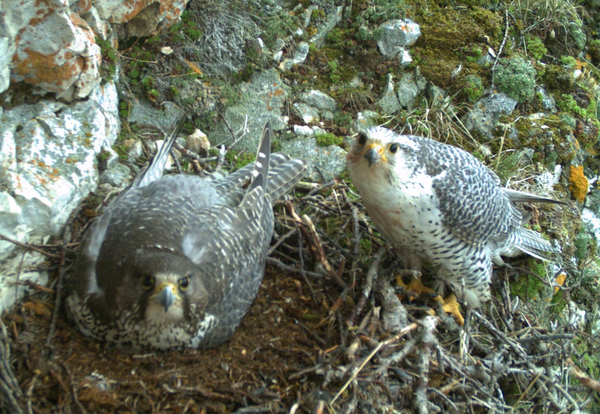 Gyrfalcon nest 3