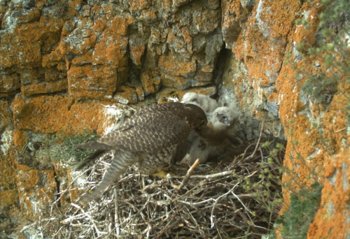 Female Gyrfalcon feeds nestlings Arctic ground squirrel