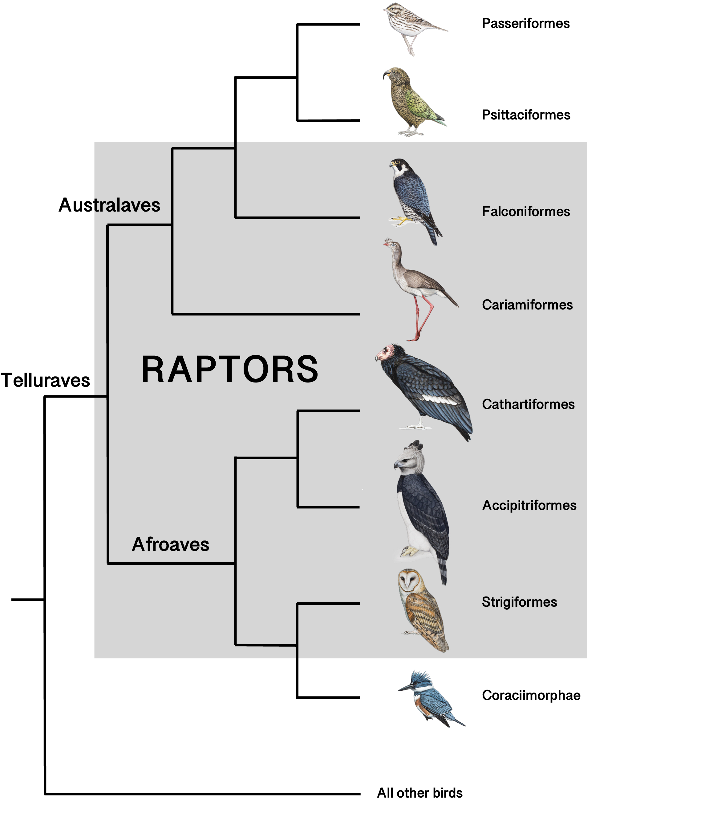 Raptor Cladogram